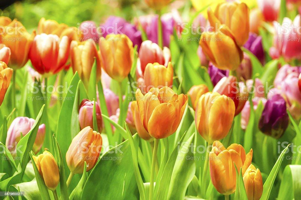 tulips growing in garden stock photo