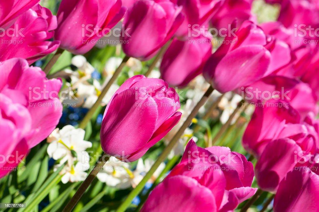 Tulips - Hot Pink stock photo