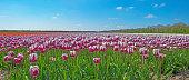 Tulips in a field in spring