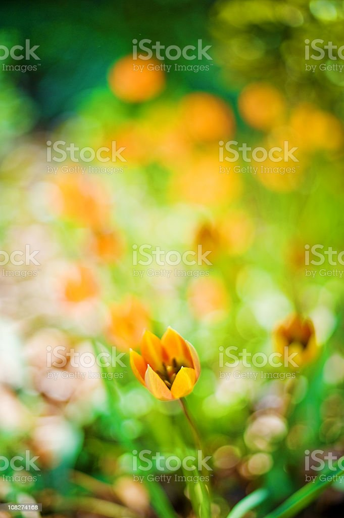 Tulips in a flower bed royalty-free stock photo