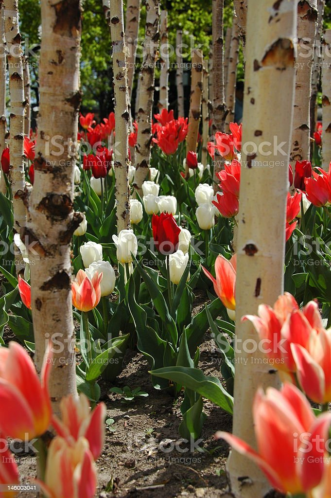 Tulips in a forest stock photo