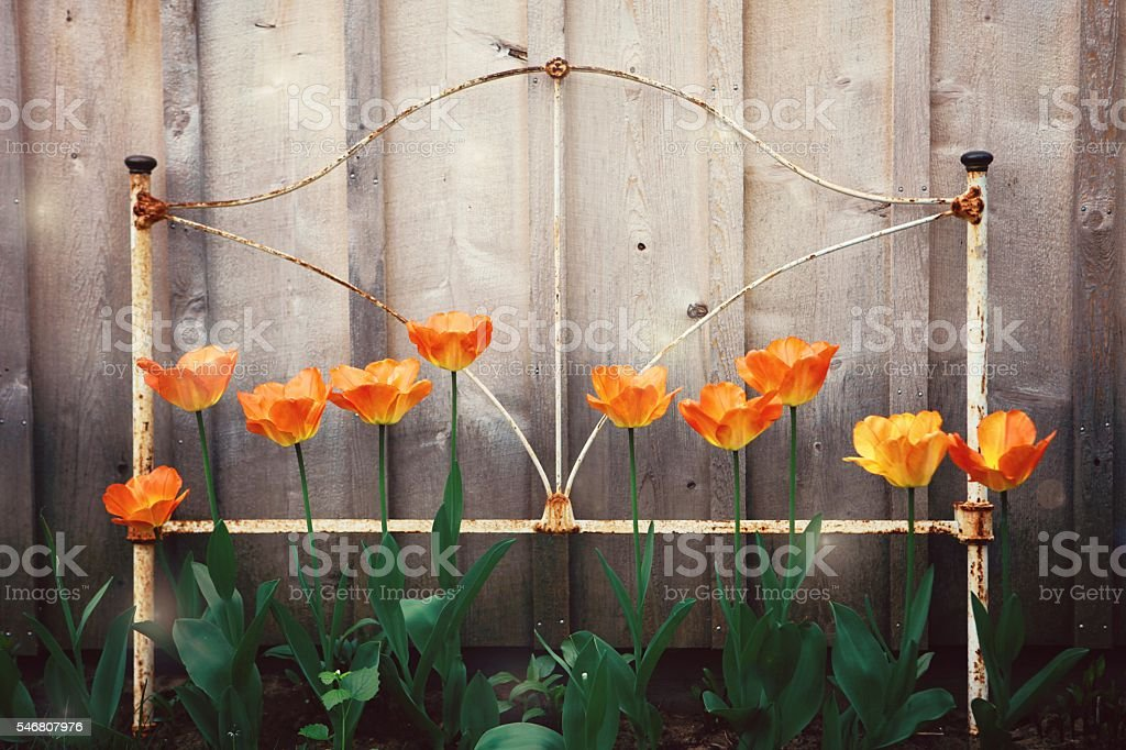 Tulips in a Garden with a Vintage Bed Frame stock photo