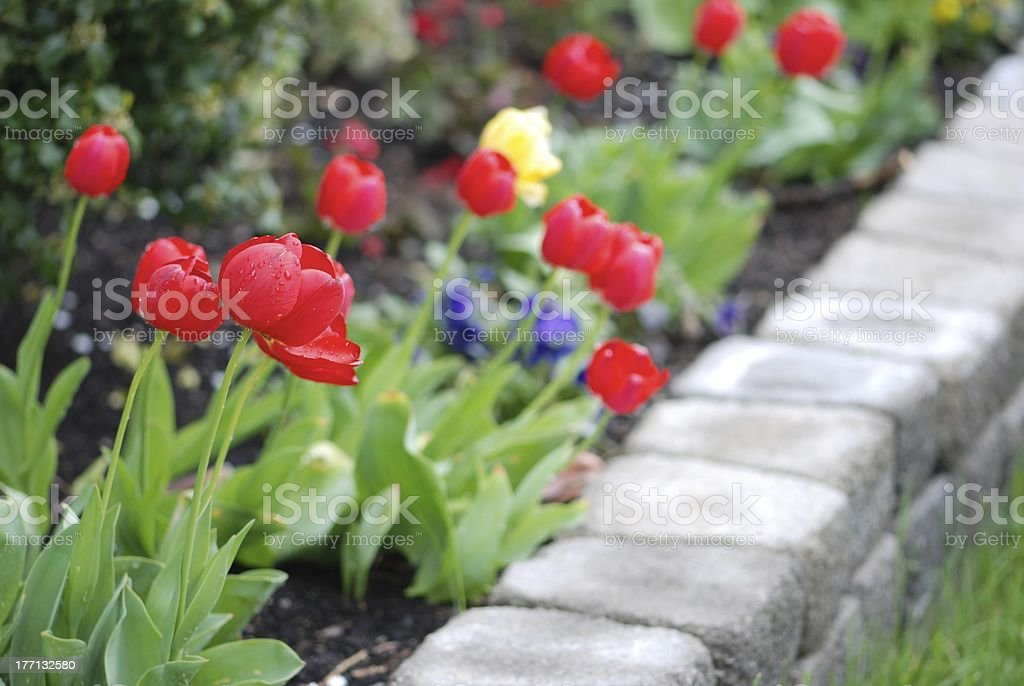 Tulips in a landscaped garden royalty-free stock photo