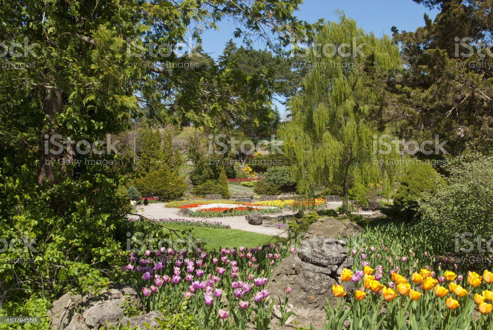 Tulips in Bloom royalty-free stock photo