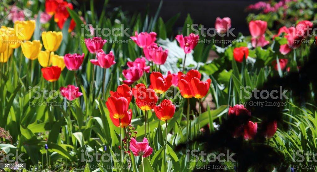 Tulips in Bloom stock photo