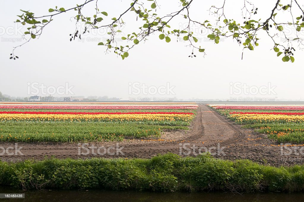 Tulips in field, with mudtrack stock photo