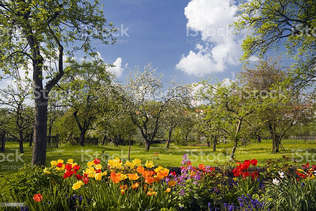 tulips in front of orchard garden royalty-free stock photo