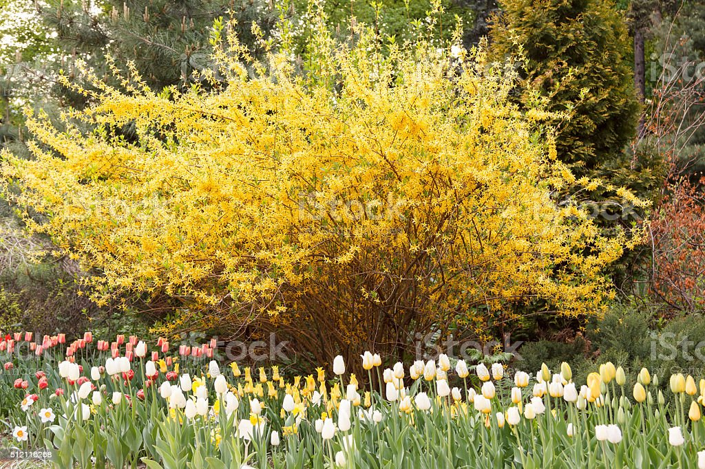 Tulips in front of spectacular yellow forsythia stock photo