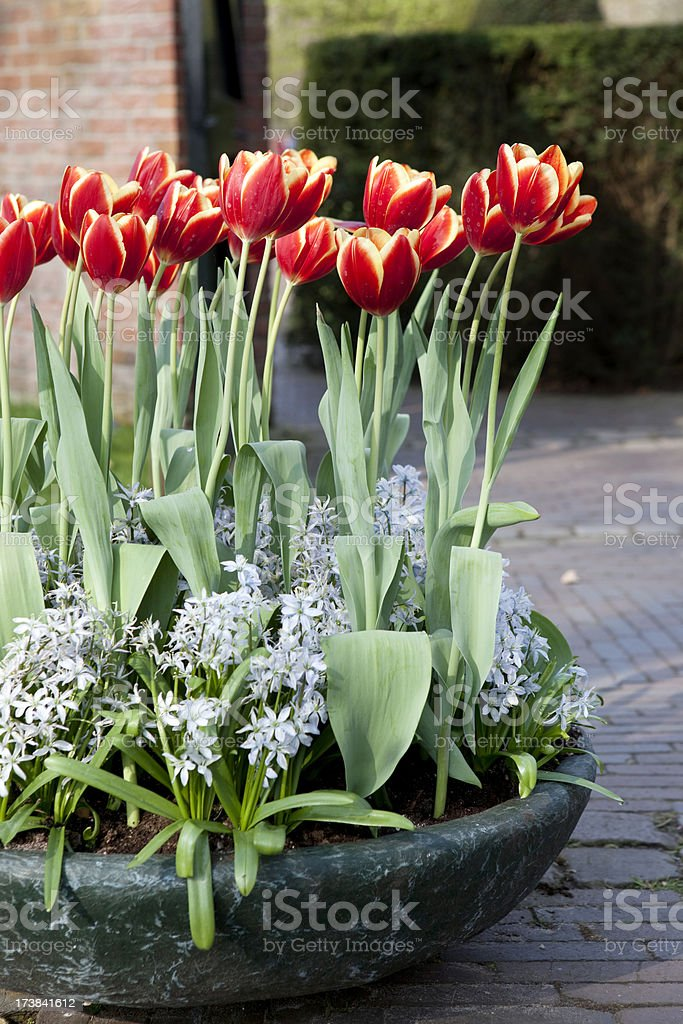 Tulips in Holland royalty-free stock photo