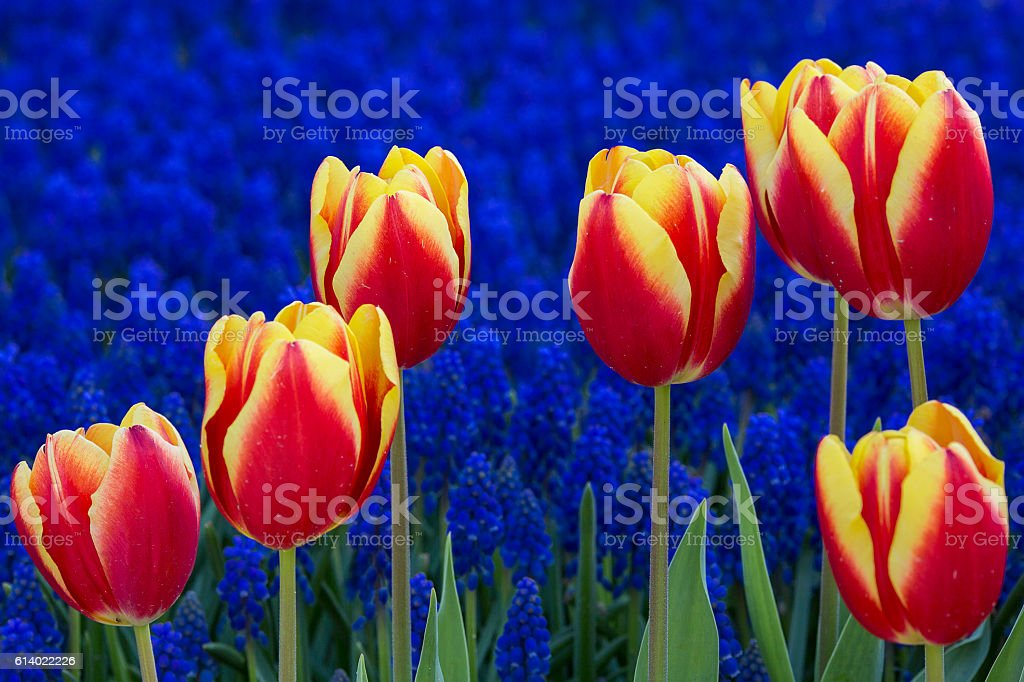 Tulips in Istanbul. stock photo