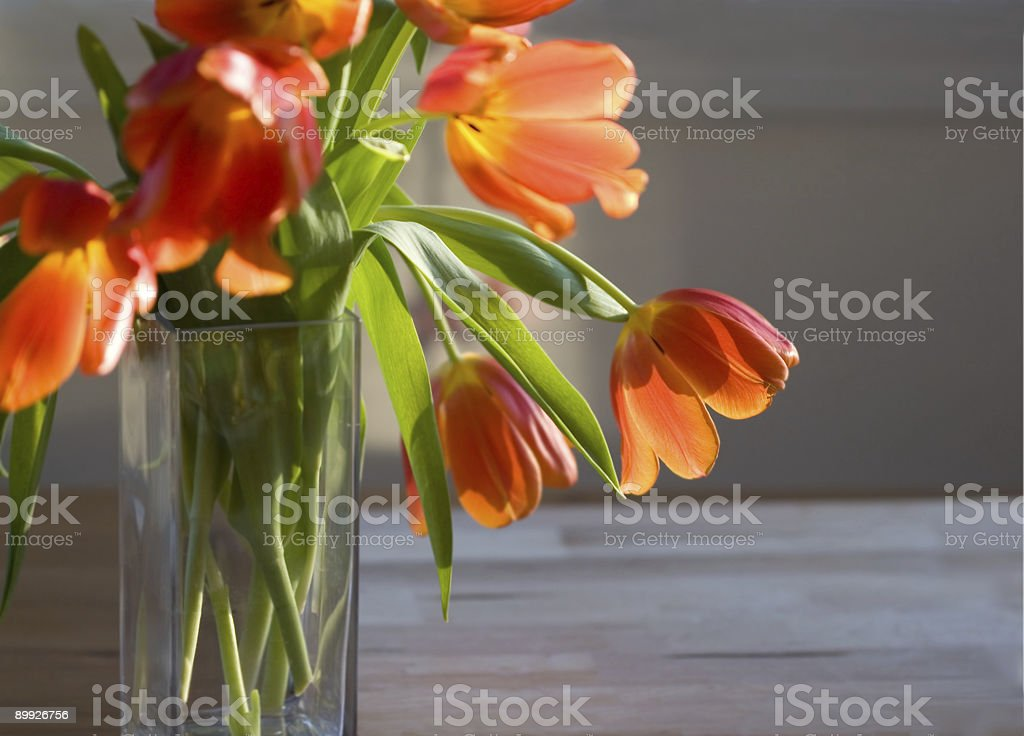 tulips in late afternoon light stock photo