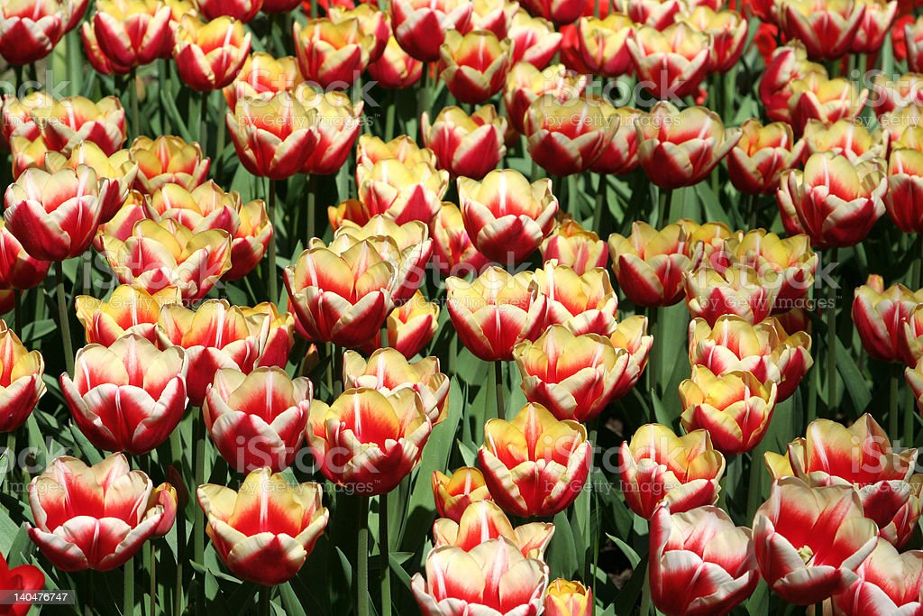 Tulips in orange and yellow royalty-free stock photo