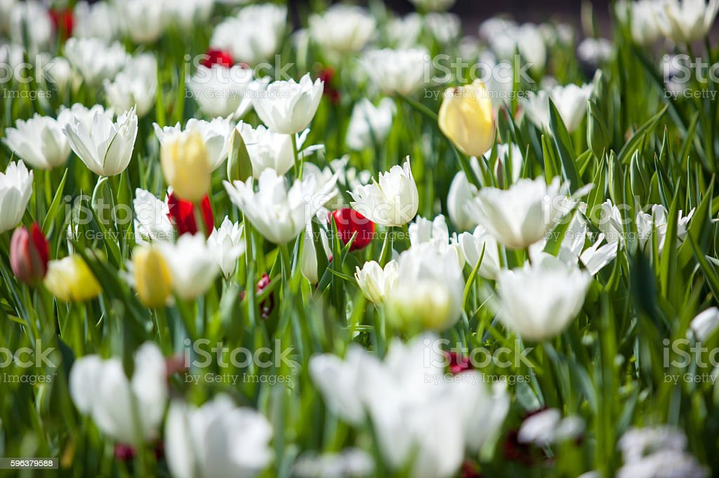Tulips in Planter Royal Botanic Garden Sydney stock photo