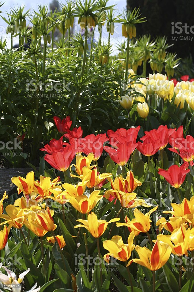 Tulips in Red and Orange royalty-free stock photo