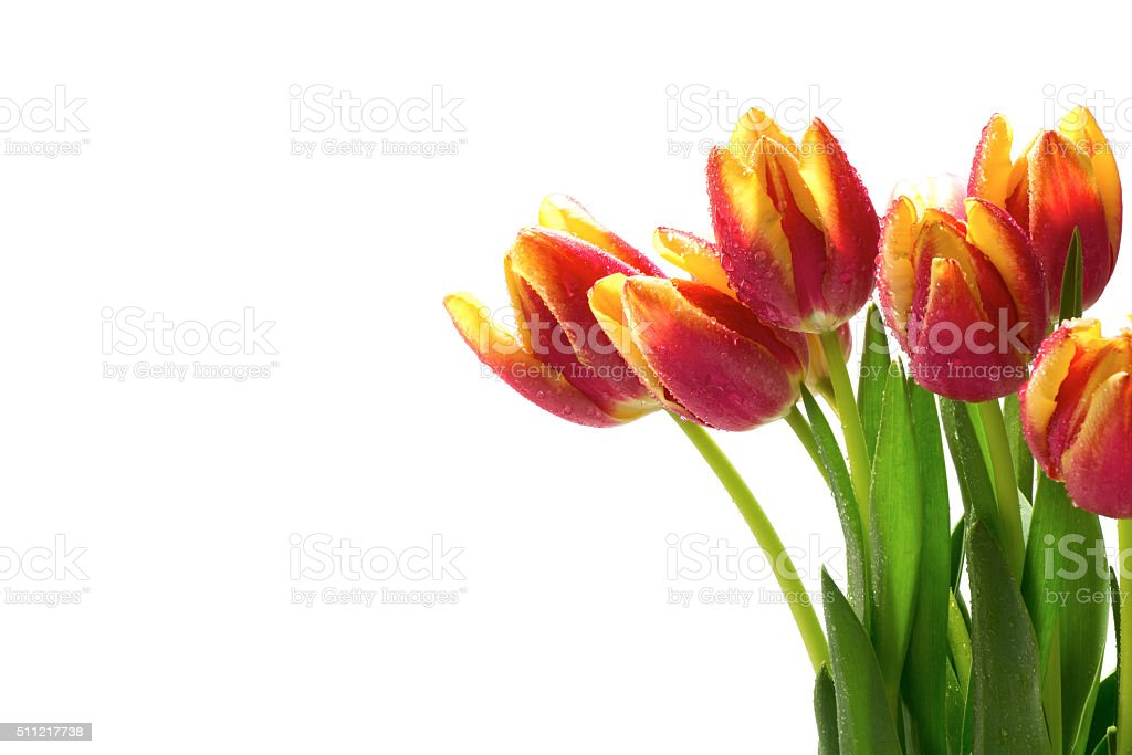 tulips in red yellow with dew drops, isolated on white stock photo