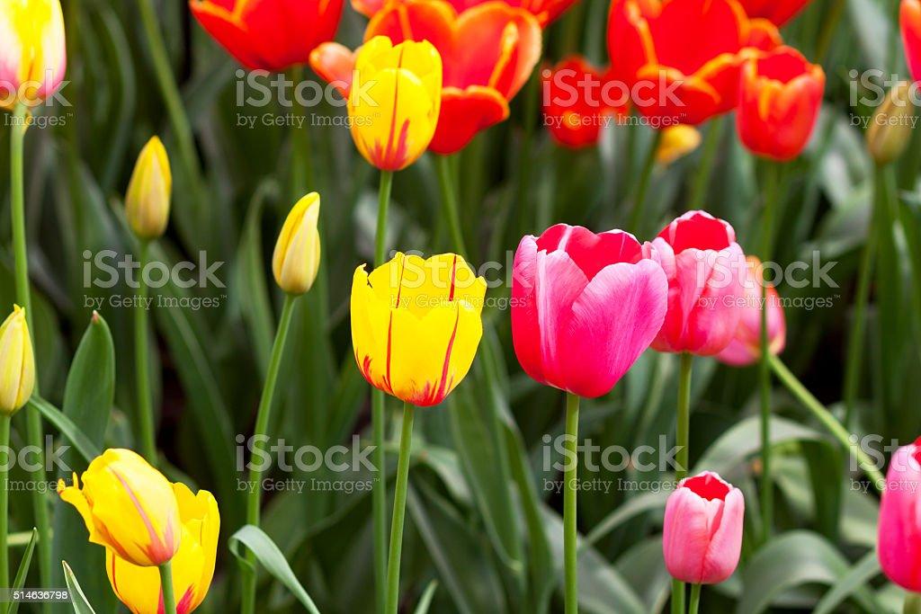 Tulips in spring stock photo