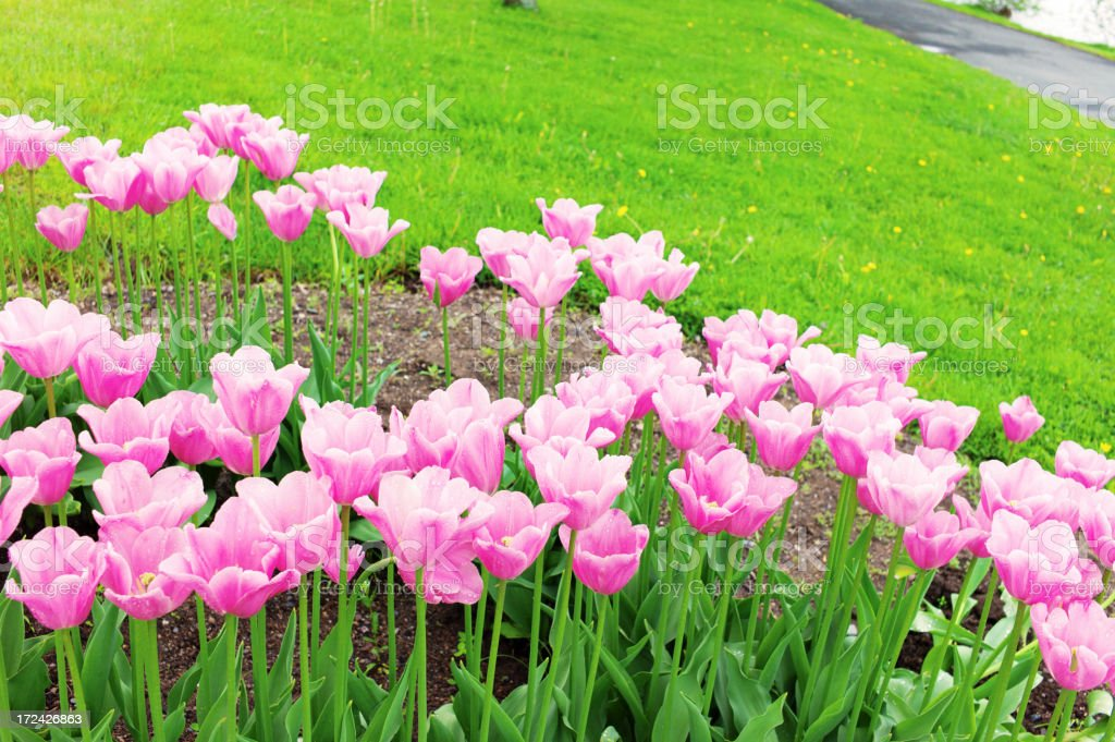 Tulips in Spring with Raindrops. royalty-free stock photo