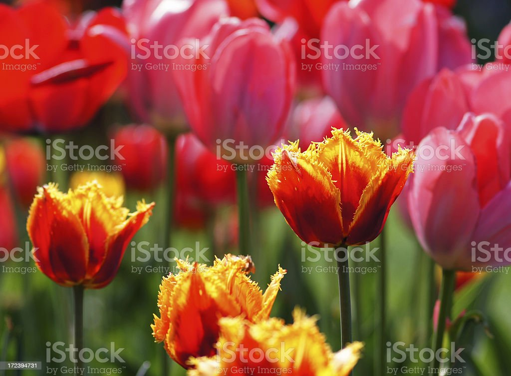 Tulips in the counter-light royalty-free stock photo