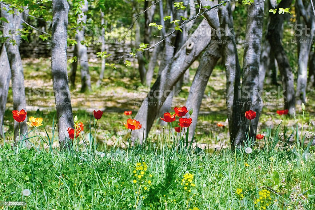 Tulips in the Forest stock photo