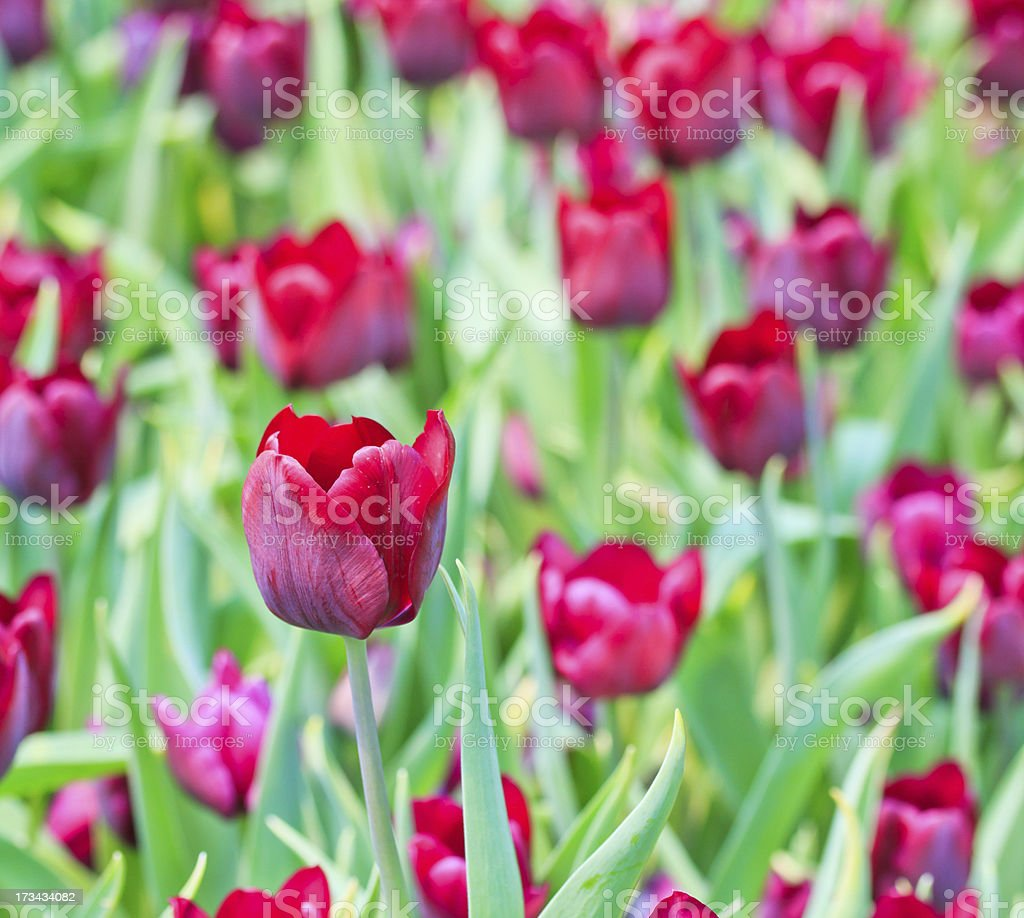 Tulips in the garden royalty-free stock photo