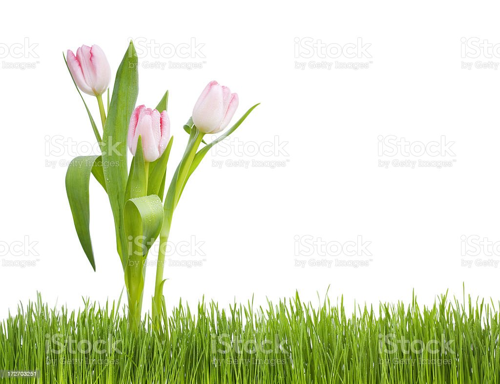 Tulips in the Grass (XL) royalty-free stock photo