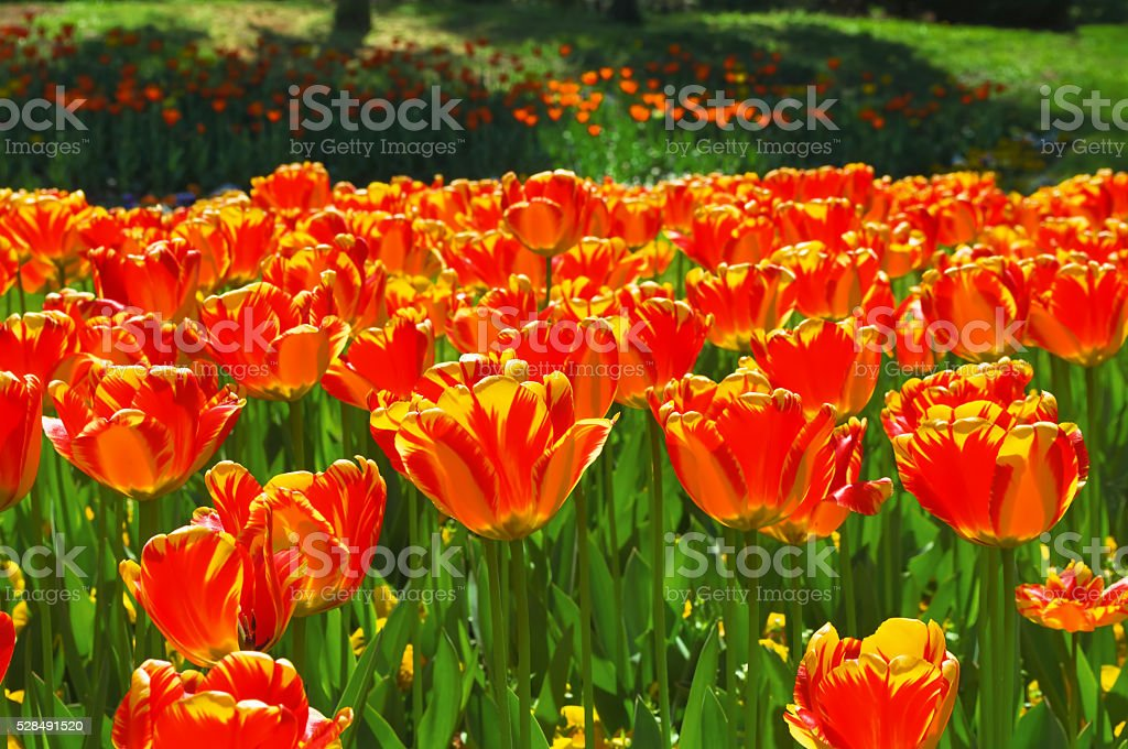 tulips in the park stock photo