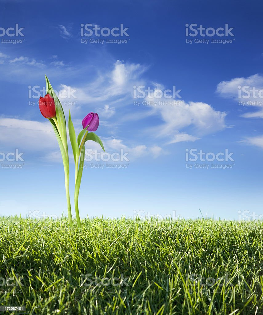Tulips in the Spring royalty-free stock photo