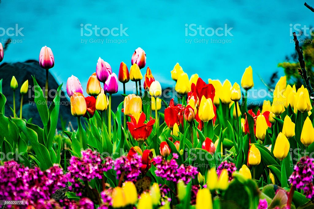 tulips in the summer royalty-free stock photo