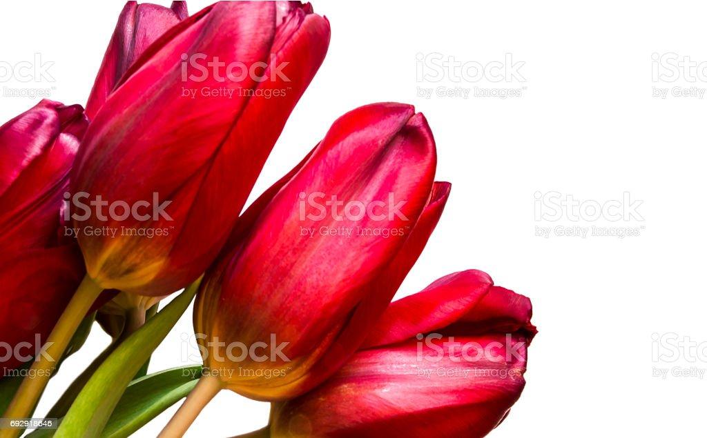 Tulips isolated on white background stock photo