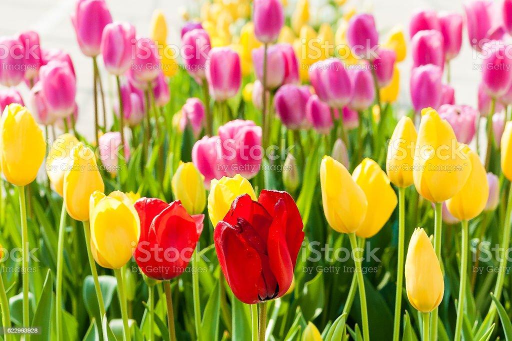 Tulipany, na białym tle zbiór zdjęć royalty-free