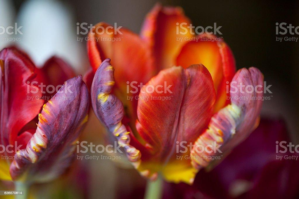 Tulips - Multicolored stock photo