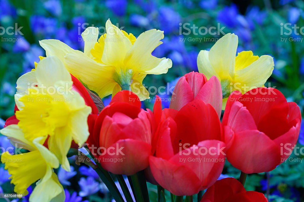 Tulips, narcissus and anemones stock photo