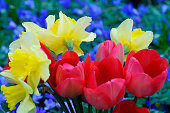 Tulips, narcissus and anemones