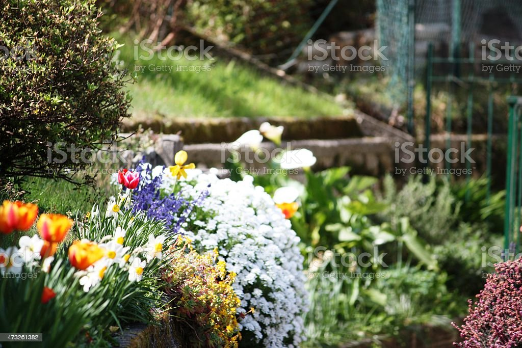Tulips, Narissen, forgetmenots, azaleas spring garden on Lago Maggiore, Close-up stock photo
