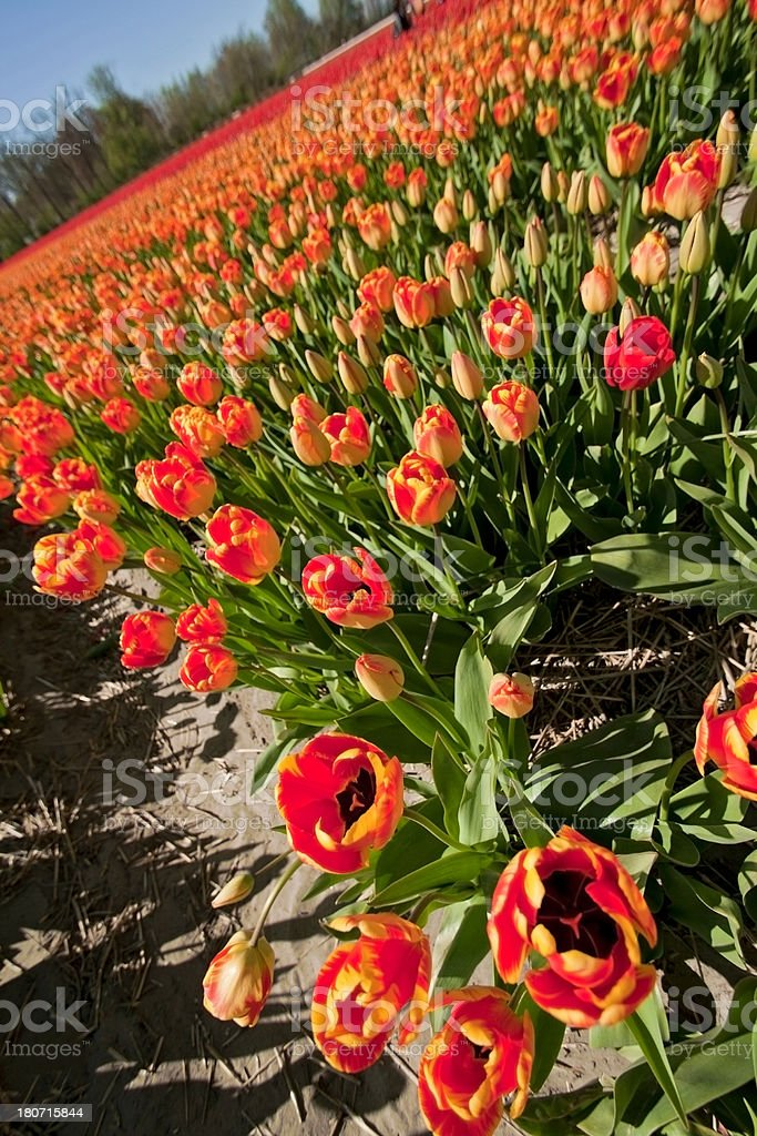 Tulips, Netherlands royalty-free stock photo