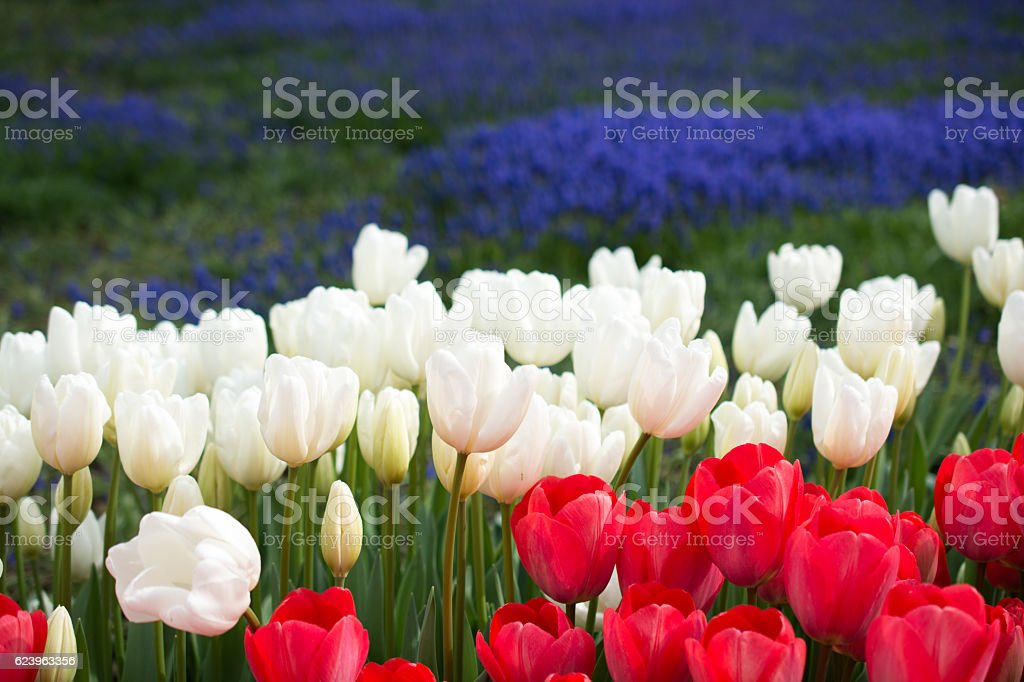 tulips of various colors in nature in spring stock photo
