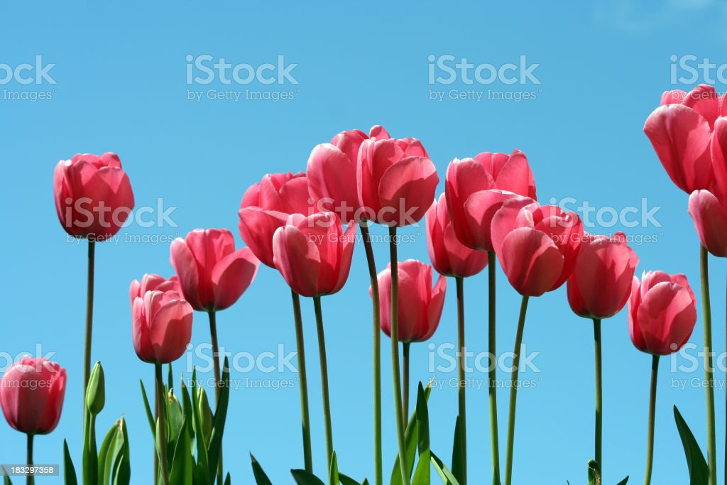 Tulips on a Blue Sky 2 royalty-free stock photo