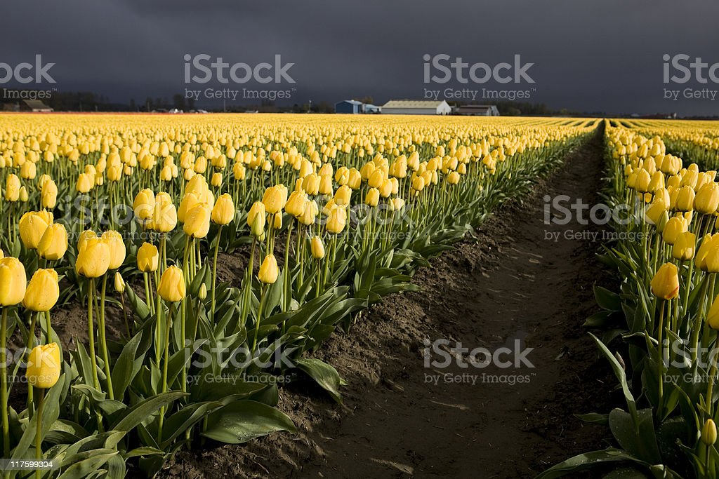 Tulips on a bright yet stormy day stock photo