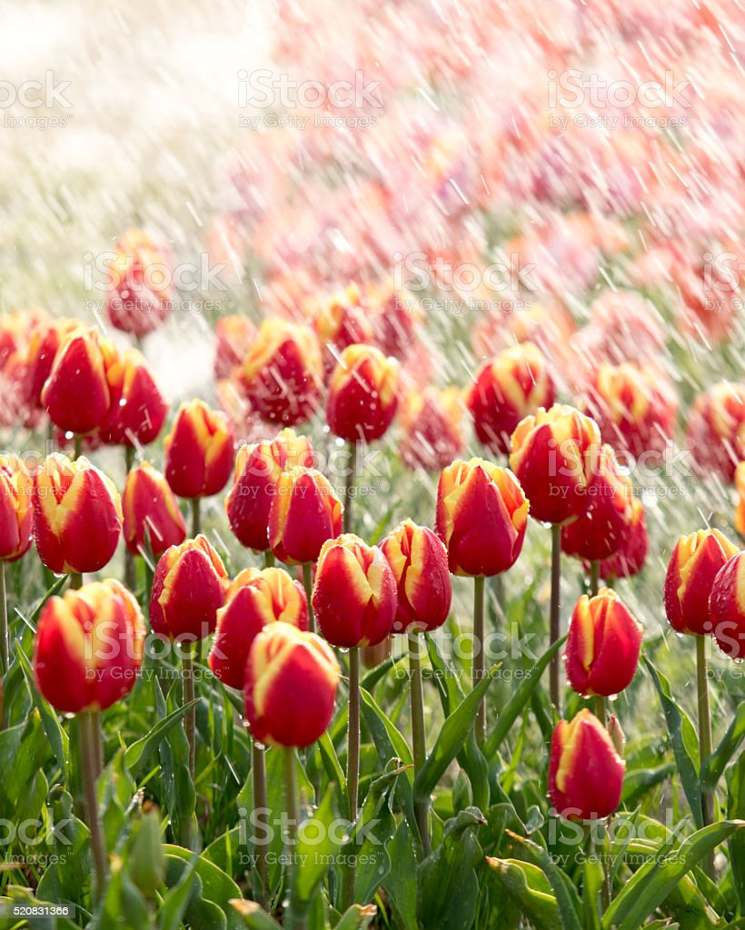 Tulips on a sunny field in spring stock photo