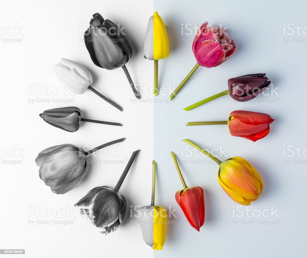 Tulips on a White Background, Half Monochrome stock photo