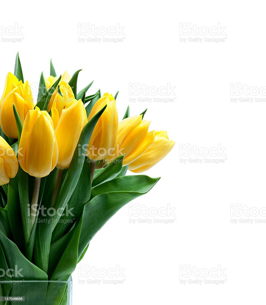 Tulips on a white background royalty-free stock photo