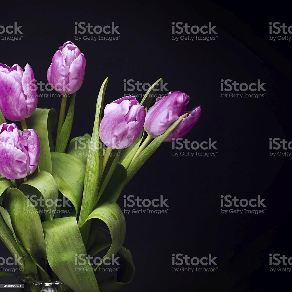 tulips on black background stock photo