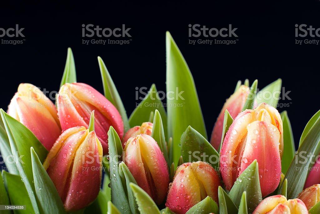 Tulips on black royalty-free stock photo