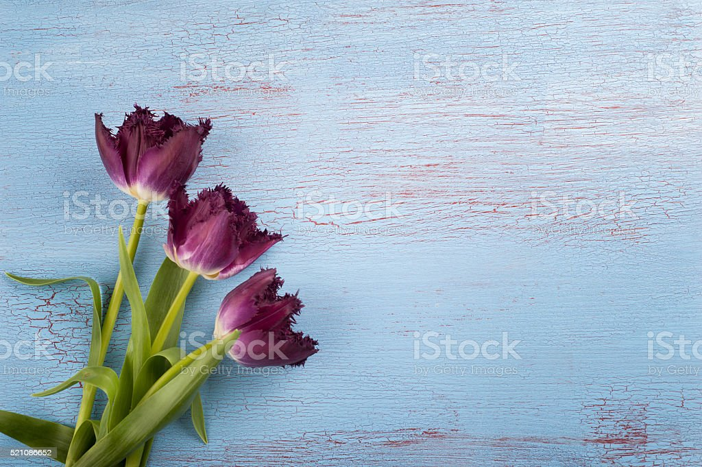 Tulips on blue red wood background stock photo