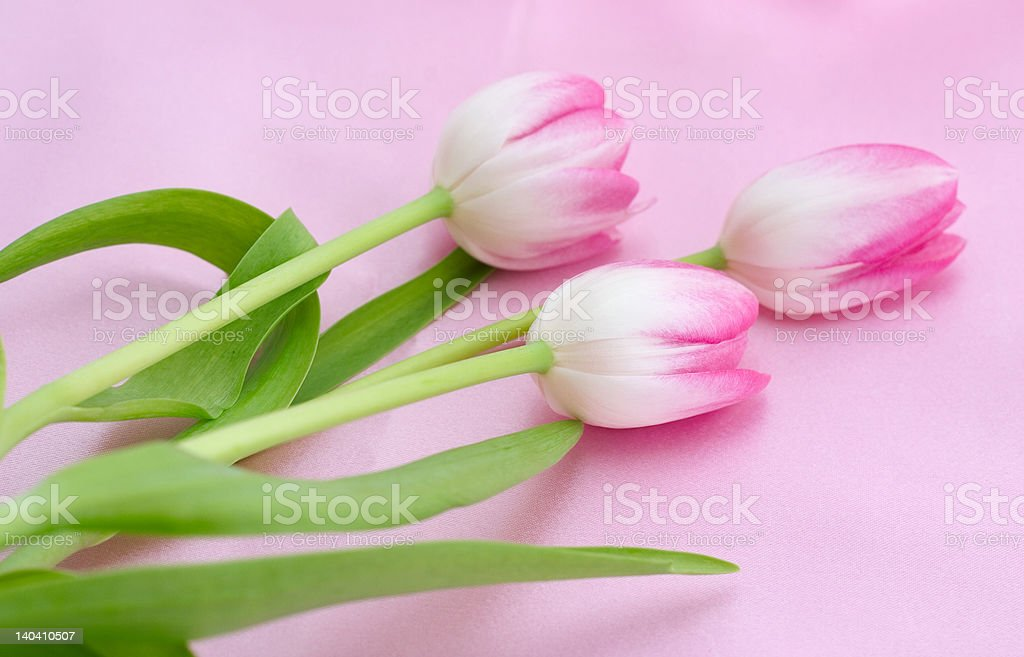 Tulips on pink royalty-free stock photo