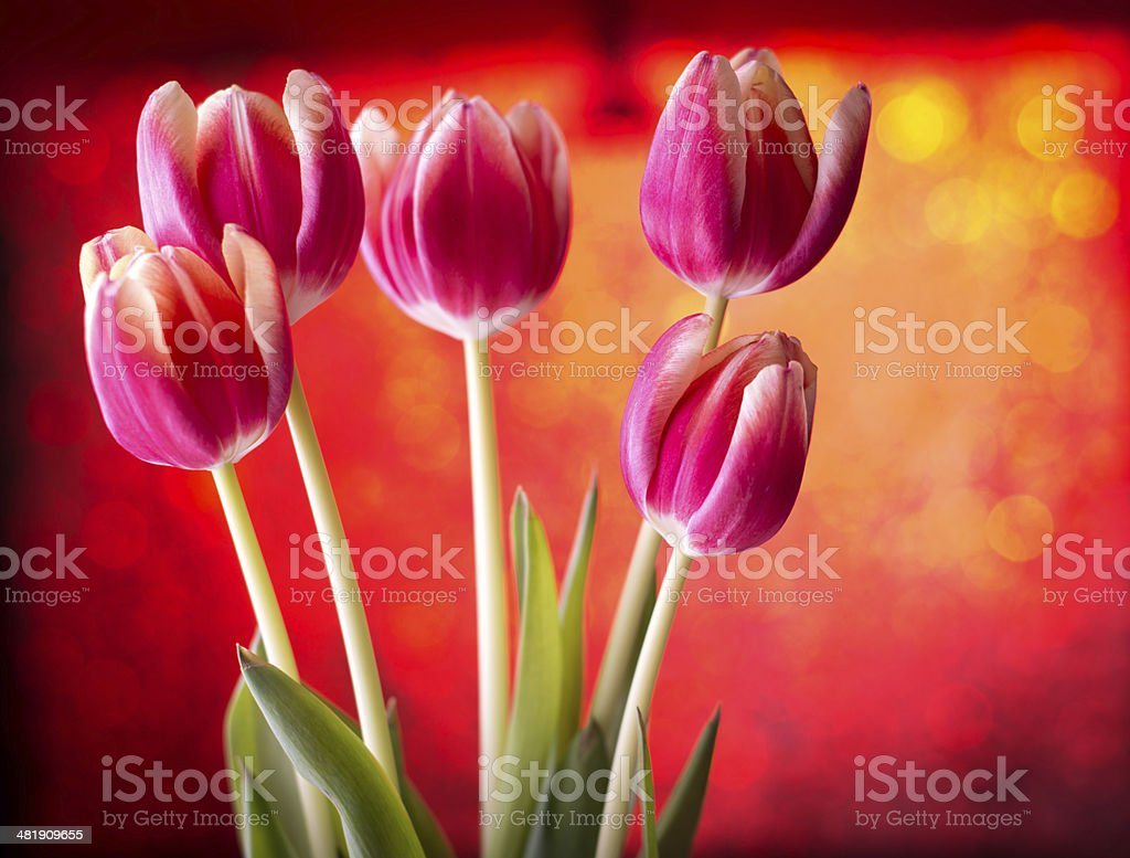 Tulips on red bokeh background stock photo