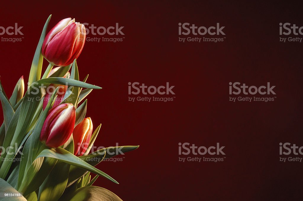 Tulips on Red stock photo