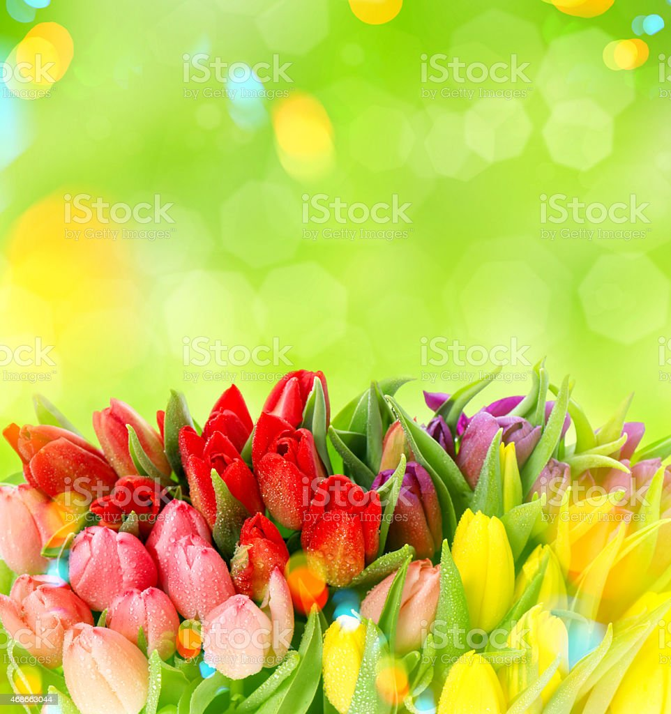 Tulips over blurred green background. Fresh spring flowers stock photo