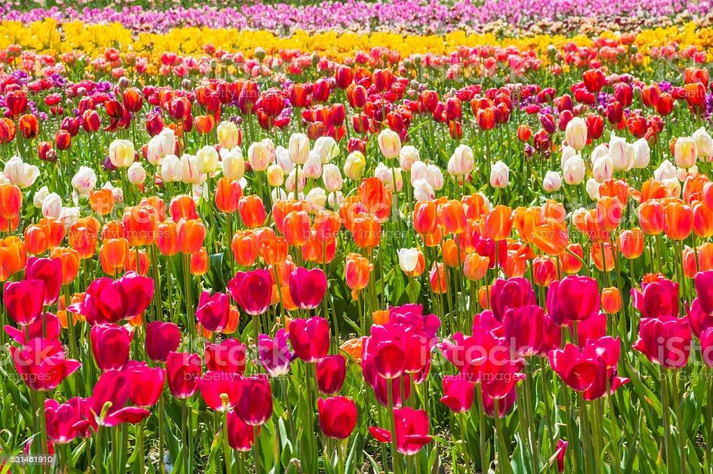 Tulips!! stock photo