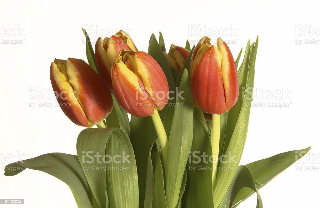 Tulipany zbiór zdjęć royalty-free